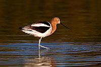 /images/133/2009-02-19-riparian-avocets-98080.jpg - #07324: Avocet in breeding plumage at Riparian Preserve … February 2009 -- Riparian Preserve, Gilbert, Arizona