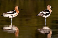 /images/133/2009-02-19-riparian-avocets-98169.jpg - #07326: Avocet in breeding plumage [left] and transitional plumage [right] at Riparian Preserve … February 2009 -- Riparian Preserve, Gilbert, Arizona