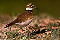 /images/133/2009-02-20-riparian-killdeer-40d_0038.jpg - #07346: Killdeer at Riparian Preserve … February 2009 -- Riparian Preserve, Gilbert, Arizona