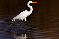 /images/133/2009-02-21-riparian-egrets-d40_1550.jpg - #07349: Great Egret at Riparian Preserve … February 2009 -- Riparian Preserve, Gilbert, Arizona