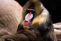 /images/133/2009-02-22-phxzoo-mandrill-40d_2507.jpg - #07356: Mandrill [male] at Phoenix Zoo … February 2009 -- Phoenix Zoo, Phoenix, Arizona
