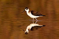 /images/133/2009-02-24-riparian-stilts-40d_3615.jpg - #07313: Black Necked Stilt at Riparian Preserve … February 2009 -- Riparian Preserve, Gilbert, Arizona