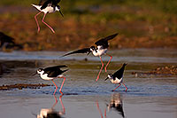 /images/133/2009-02-24-riparian-stilts-40d_3625.jpg - #07314: Black Necked Stilts fighting at Riparian Preserve … February 2009 -- Riparian Preserve, Gilbert, Arizona