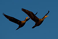 /images/133/2009-02-25-riparian-cormorants-99166.jpg - #07325: Cormorants in flight at Riparian Preserve … February 2009 -- Riparian Preserve, Gilbert, Arizona