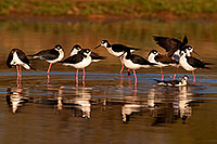 /images/133/2009-02-25-riparian-stilts-99201.jpg - #07332: Black Necked Stilts at Riparian Preserve … February 2009 -- Riparian Preserve, Gilbert, Arizona
