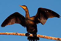 /images/133/2009-02-26-riparian-cormorants-99755.jpg - #07343: Cormorant at Riparian Preserve … February 2009 -- Riparian Preserve, Gilbert, Arizona