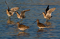 /images/133/2009-02-26-riparian-dowitchers-100034.jpg - #07344: Long-billed Dowitchers at Riparian Preserve … February 2009 -- Riparian Preserve, Gilbert, Arizona