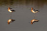 /images/133/2009-02-27-riparian-avocets-100516n.jpg - #07348: American Avocets [female on left] at Riparian Preserve … February 2009 -- Riparian Preserve, Gilbert, Arizona