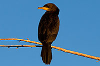/images/133/2009-02-27-riparian-cormorants-100097.jpg - #07350: Neotropic Cormorant at Riparian Preserve … February 2009 -- Riparian Preserve, Gilbert, Arizona