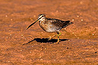 /images/133/2009-02-27-riparian-snipes-100227.jpg - #07354: Wilson`s Snipe at Riparian Preserve … February 2009 -- Riparian Preserve, Gilbert, Arizona