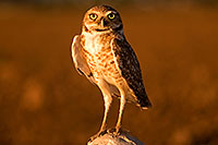 /images/133/2009-07-06-queen-owl-105443.jpg - #07469: Burrowing Owl in Queen Creek … July 2009 -- Queen Creek, Arizona