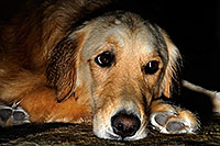 /images/133/2009-07-15-gilbert-izzy-106155.jpg - #07422: Izzy (Golden Retriever) - 2 years old … July 2009 -- Gilbert, Arizona