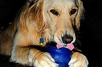 /images/133/2009-07-15-gilbert-izzy-106213.jpg - #07423: Izzy (Golden Retriever) with a toy - 2 years old … July 2009 -- Gilbert, Arizona