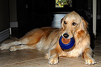 /images/133/2009-07-15-gilbert-izzy-106261.jpg - #07424: Izzy (Golden Retriever) with a toy - 2 years old … July 2009 -- Gilbert, Arizona