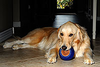/images/133/2009-07-15-gilbert-izzy-106262.jpg - #07425: Izzy (Golden Retriever) with a toy - 2 years old … July 2009 -- Gilbert, Arizona
