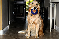 /images/133/2009-07-15-gilbert-izzy-106267.jpg - #07426: Izzy (Golden Retriever) with a toy - 2 years old … July 2009 -- Gilbert, Arizona
