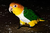 /images/133/2009-07-18-cavecreek-bird-106480.jpg - #07430: Parrot in Cave Creek … July 2009 -- Cave Creek, Arizona