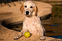 /images/133/2009-10-09-gilbert-bella-114899.jpg - #07526: Bella (English Golden Retriever) with ball … Oct 2009 -- Gilbert, Arizona