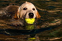 /images/133/2009-10-09-gilbert-bella-114910.jpg - #07527: Bella (English Golden Retriever) swimming with ball … Oct 2009 -- Gilbert, Arizona