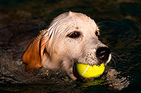 /images/133/2009-10-09-gilbert-bella-114917.jpg - #07528: Bella (English Golden Retriever) swimming with ball … Oct 2009 -- Gilbert, Arizona