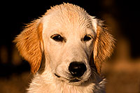 /images/133/2009-10-16-gilbert-bella-115904.jpg - #07581: Bella (English Golden Retriever) in late afternoon … Oct 2009 -- Gilbert, Arizona