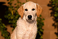 /images/133/2009-10-16-gilbert-bella-115925.jpg - #07582: Bella (English Golden Retriever) … Oct 2009 -- Gilbert, Arizona