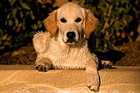 /images/133/2009-10-16-gilbert-bella-115972.jpg - #07583: Bella (English Golden Retriever) by the pool … Oct 2009 -- Gilbert, Arizona