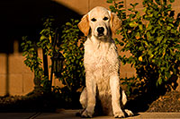 /images/133/2009-10-16-gilbert-bella-116000.jpg - #07584: Bella (English Golden Retriever) by the pool … Oct 2009 -- Gilbert, Arizona