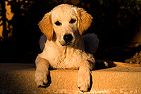 /images/133/2009-10-16-gilbert-bella-116069.jpg - #07586: Bella (English Golden Retriever) by the pool … Oct 2009 -- Gilbert, Arizona