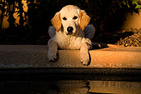 /images/133/2009-10-16-gilbert-bella-116089.jpg - #07587: Bella (English Golden Retriever) by the pool … Oct 2009 -- Gilbert, Arizona