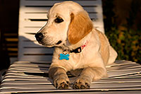 /images/133/2009-10-20-gilbert-bella-116885.jpg - #07588: Bella (English Golden Retriever) suntanning by the pool … Oct 2009 -- Gilbert, Arizona