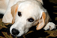 /images/133/2009-10-21-gilbert-bella-116936.jpg - #07590: Bella (English Golden Retriever) on a rug … Oct 2009 -- Gilbert, Arizona
