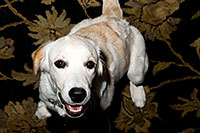 /images/133/2009-10-21-gilbert-bella-116977.jpg - #07591: Bella (English Golden Retriever) on a rug … Oct 2009 -- Gilbert, Arizona