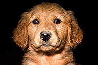 /images/133/2009-10-31-mesa-puppies-120567.jpg - #07823: Golden Retriever Puppies (7 weeks old) … October 2009 -- Mesa, Arizona