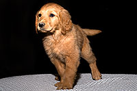 /images/133/2009-10-31-mesa-puppies-120578.jpg - #07824: Golden Retriever Puppies (7 weeks old) … October 2009 -- Mesa, Arizona