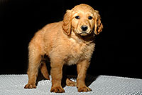 /images/133/2009-10-31-mesa-puppies-120591.jpg - #07825: Golden Retriever Puppies (7 weeks old) … October 2009 -- Mesa, Arizona