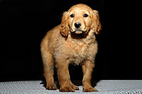 /images/133/2009-10-31-mesa-puppies-120626.jpg - #07826: Golden Retriever Puppies (7 weeks old) … October 2009 -- Mesa, Arizona