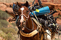 /images/133/2010-06-21-havasu-horses-7613.jpg - #08223: Along Havasupai Trail … June 2010 -- Havasupai Trail, Havasu Falls, Arizona