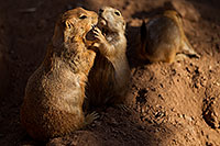 /images/133/2010-07-28-zoo-prairie-dogs-19277.jpg - #08315: Affectionate Prairie Dogs at the Phoenix Zoo … July 2010 -- Phoenix Zoo, Phoenix, Arizona