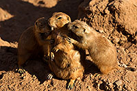 /images/133/2010-07-28-zoo-prairie-dogs-19306.jpg - #08317: Affectionate Prairie Dogs at the Phoenix Zoo … July 2010 -- Phoenix Zoo, Phoenix, Arizona