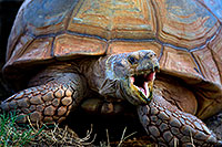 /images/133/2010-08-12-zoo-tortoises-21814.jpg - #08410: Sulcata Tortoise opening mouth at the Phoenix Zoo … August 2010 -- Phoenix Zoo, Phoenix, Arizona