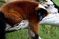 /images/133/2010-08-19-zoo-lemurs-24853.jpg - #08480: Red ruffed Lemur at the Phoenix Zoo … August 2010 -- Phoenix Zoo, Phoenix, Arizona
