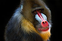 /images/133/2010-08-20-zoo-mandrill-25784.jpg - #08500: Mandrill at the Phoenix Zoo … August 2010 -- Phoenix Zoo, Phoenix, Arizona