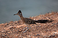 /images/133/2010-08-22-havasu-roadrunner-5d_0877.jpg - #08608: Roadrunner at Lake Havasu … August 2010 -- Lake Havasu, Arizona