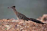 /images/133/2010-08-22-havasu-roadrunner-5d_0881.jpg - #08609: Roadrunner at Lake Havasu … August 2010 -- Lake Havasu, Arizona