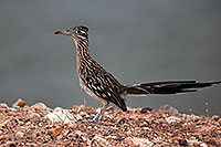 /images/133/2010-08-22-havasu-roadrunner-5d_0884.jpg - #08610: Roadrunner at Lake Havasu … August 2010 -- Lake Havasu, Arizona