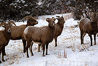 /images/133/2011-01-09-ouray-bighorns-47850.jpg - #09014: Bighorn Sheep by Ouray … January 2011 -- Ouray, Colorado