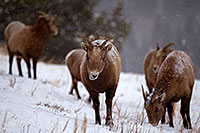 /images/133/2011-01-09-ouray-bighorns-47934.jpg - #09019: Bighorn Sheep by Ouray … January 2011 -- Ouray, Colorado