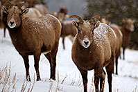 /images/133/2011-01-09-ouray-bighorns-47947.jpg - #09114: Bighorn Sheep by Ouray … January 2011 -- Ouray, Colorado