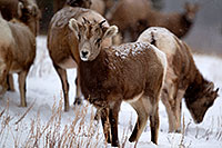 /images/133/2011-01-09-ouray-bighorns-47967.jpg - #09023: Bighorn Sheep by Ouray … January 2011 -- Ouray, Colorado